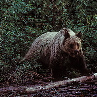 Blond grizzly in British Columbia inland temperate rainforest