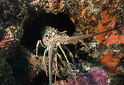 Caribbean spiny lobster in front of its hole in the coral reef.