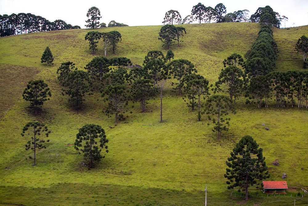 Corrego do Bom Jesus_MG, Brasil...Araucarias em uma paisagem rural em Corrego do Bom Jesus...Araucarias in the rural landscape in Corrego do Bom Jesus...Foto: LEO DRUMOND / NITRO.....
