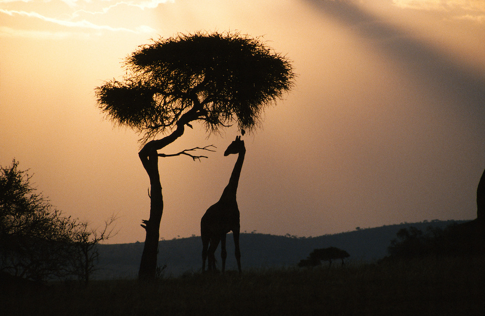 African giraffe at sunset fine art photograph