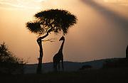African giraffe at sunset fine art photograph