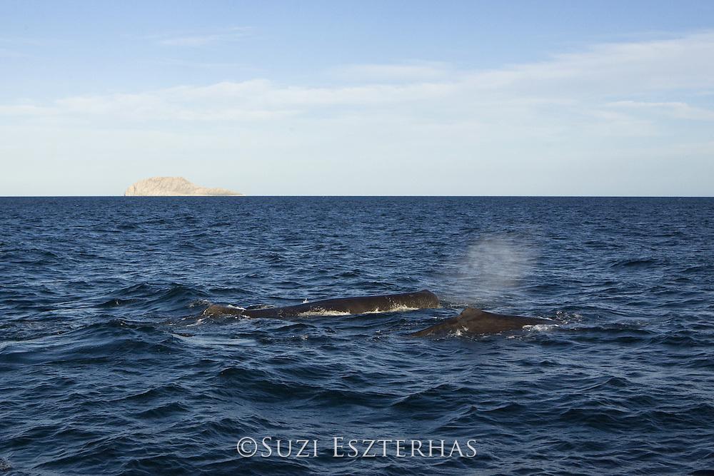 Sperm Whale <br /> Physeter macrocephalus<br /> Sea of Cortez, Baja California, Mexico