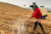 24 APRIL 2014 - CHIANG SAEN, CHIANG RAI, THAILAND:  Farmers in Chiang Rai tend their cassava fields. They said cassava doesn't require as much water as rice and is a good dry season crop. Chiang Rai province in northern Thailand is facing a drought this year. The 2014 drought has been brought on by lower than normal dry season rains. At the same time, closing dams in Yunnan province of China has caused the level of the Mekong River to drop suddenly exposing rocks and sandbars in the normally navigable Mekong River. Changes in the Mekong's levels means commercial shipping can't progress past Chiang Saen. Dozens of ships are tied up in the port area along the city's waterfront.                   PHOTO BY JACK KURTZ
