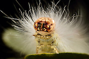 Stettin Lagoon, Bay of Szczecin, Germany {Story behind the image: The image of the caterpillar was taken in Stettin Lagoon, Bay of Szczecin, Germany as part of my oak tree project. It is a classic macro shot where I used three flashes. It shows the caterpillar of the Scarce Merveille du Jour (Moma alpium) that belongs to the family of owlet moths (Noctuidae). From June to September, the caterpillar feeds on leaves of the English oak (Quercus robur) where it thus can be easily found. This image highlights the dense hair of this animal and you can see how it lifts its front legs.} | Die Raupe der Seladoneule (Moma alpium) gehört zu den Noctuidae (Eulenfalter). Sie frißt bevorzugt von Juni bis September an den Blättern von Stieleiche (Quercus robur). Naturpark Am Stettiner Haff
