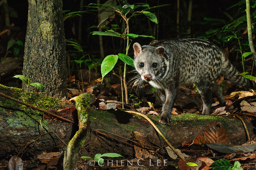 The Malay Civet (Viverra tangalunga) is a shy nocturnal animal of the rainforest.  This individual was photographed by means of an infrared camera trigger. Sabah, Malaysia.