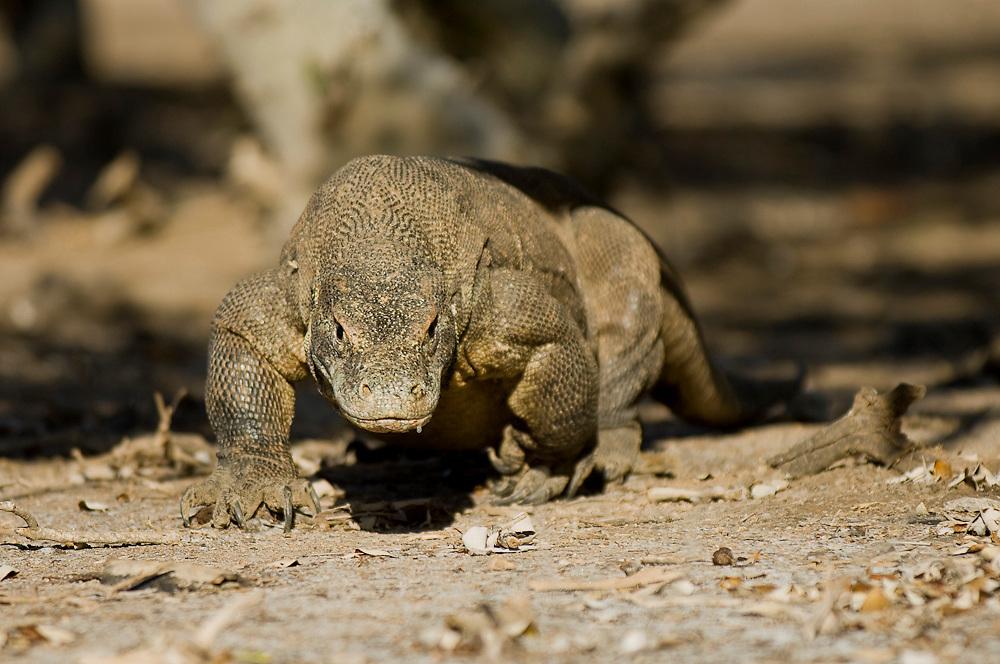Komodo Dragon (Varanus komodoensis) in Komodo Island, Indonesia. The Komodo Dragon is the world's largest lizard, reaching more than 9ft. in length and weighing more than 190lbs.