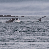 Pair of humpback whales tail slapping in Icy Strait, off Glacier Bay National Park, Alaska