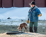 Goshen, New York - A farmer herds a lamb toward the barn on a cold winter afternoon at Banbury Cross Farm on Feb. 20, 2015.