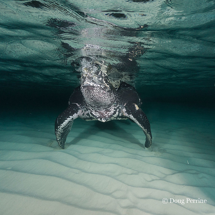 leatherback sea turtle, Dermochelys coriacea ( Critically Endangered species ) taking a breath of air at the surface, Parque Nacional Jaragua, Dominican Republic ( Caribbean Sea )