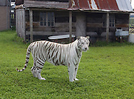 A white tiger enjoying some open space at Elmira's Wildlife Sanctuary near Tampa, Florida.  Elmira's is a refuge of last resort for numerous animals