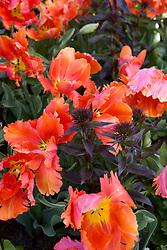 Tulipa 'Orange Favourite' with Dianthus barbatus ( sweet william )foliage