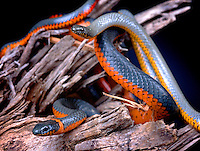 Regal Ringneck (Diadophis p regalis)