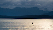 Orca, also known as Killer Whale, in Stephen's Passage, Alaska.