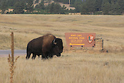 Bull bison at the entrance to Wind Cave National Park in South Dakota American Bison (Buffalo) in habitat