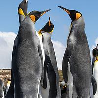 Aptenodytes patagonicus, Volunteer Point, East Falkland Island, February 2019