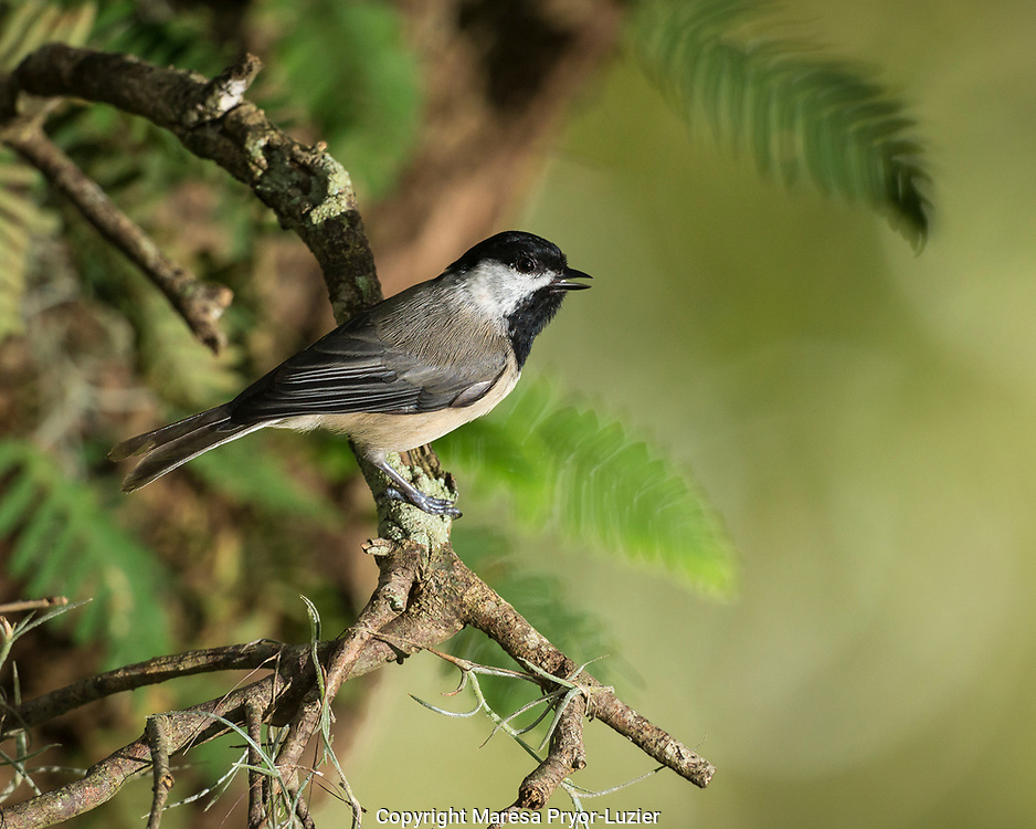 Carolina Chickadee , Poecile carolinensis, in live oak tree, Florida, wild