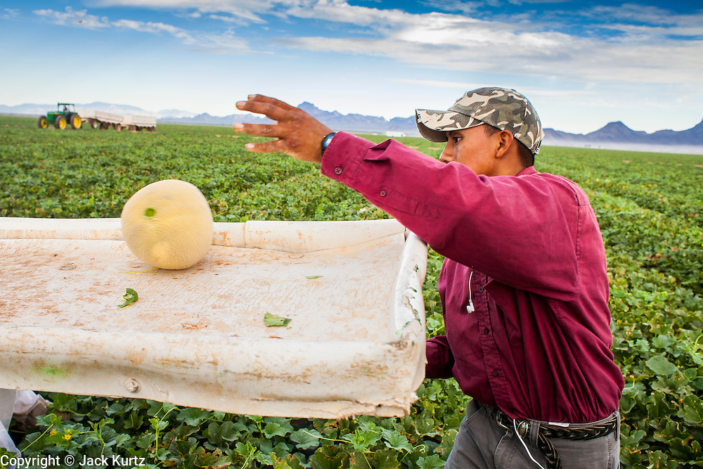 02 OCTOBER 2007 -- A worker drops cantaloupe onto a conveyor belt that will move it to a waiting trailer on a farm about 30 miles west of Buckeye, AZ.  PHOTO BY JACK KURTZ
