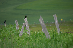 Red-winged blackbirds sit on a fence in a farm in the Palouse area, Washington.