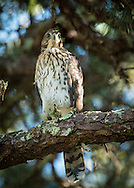 A young Cooper's Hawk sitting wachfully on a limb of a pine tree.