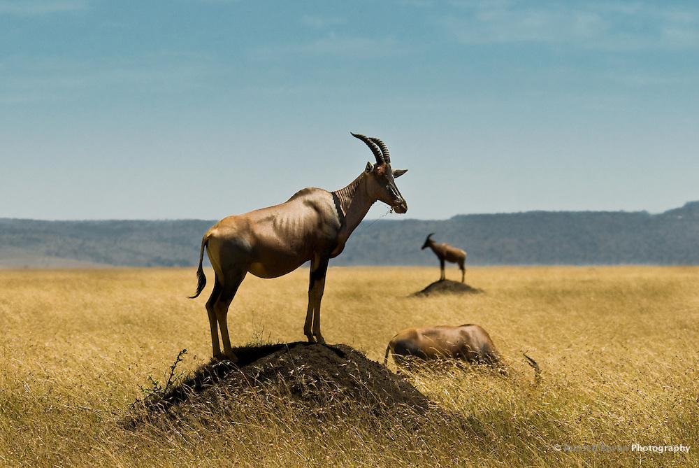 Two Topi stand on termite mounds while another grazes in the Masai Mara National Park, Kenya
