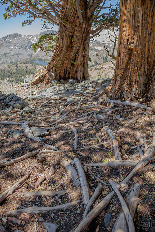 """Roots in Desolation Wilderness"" - These roots were photographed above Susie Lake in the Tahoe Desolation Wilderness."