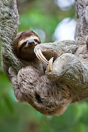 Close up of a young Brown-throated Sloth (Bradypus variegatus) nurses it's baby while hanging from a tree branch in the jungle of Corcovado National Park, Costa Rica