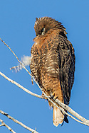 Red-tailed hawk adult, dark plumage  and deep orange breast coloration, preening its feathers, © 2012 David A. Ponton