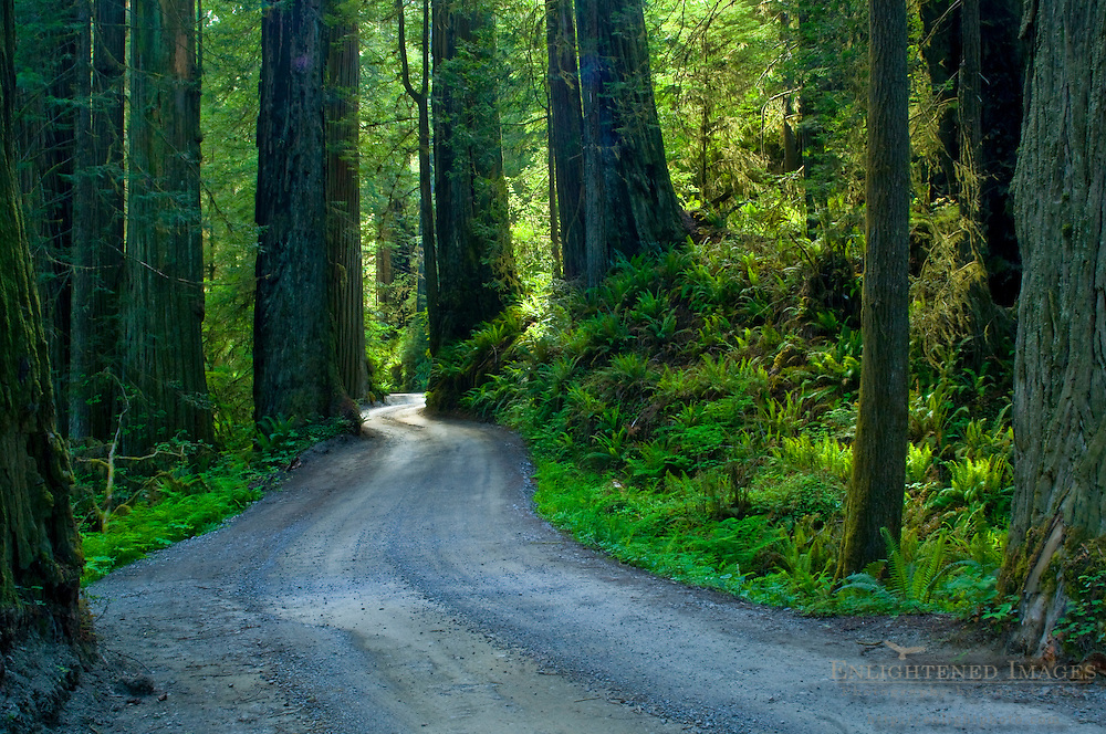 Sunlight through redwood trees in forest, Howland Hill road, Jedediah Smith Redwoods State Park, California