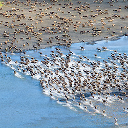 Members of the Western Arctic Caribou herd cross the Kukpuk River as the herd slowly starts their migration towards the Brooks Range in early July. Western Arctic, Alaska