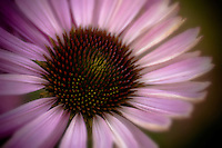 Selectively focused echinacea purpurea.