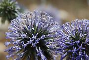 Broadleaf Wild Leek or wild Garlic - Allium ampeloprasum.