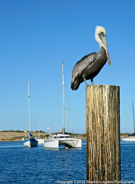 A Brown Pelican sits perched on pier piling in the Morro Bay Harbor. The central coast of California is one of the most scenic areas of the United States. The natural beauty and wildlife are abundant and breathtaking. You can find more than 200 species of birds, both land and sea birds, on this scenic and spectacular stretch of California..The National Audubon Society lists Morro Bay and the central coast of California, including Santa barbara as a Globally Important Bird Area. Thousands of migratory birds spend part of the year here..Shorebirds such as marbled godwits, willets, curlews with their long curved bills and tiny sandpipers find a bountiful feast in the mudflats of the estuary at Morro Bay. Black brant geese migrate from spots on the Alaskan shore to feed on the rich eelgrass beds. Fluttering terns, brown pelicans, graceful egrets and herons are also part of the seasonal mix...
