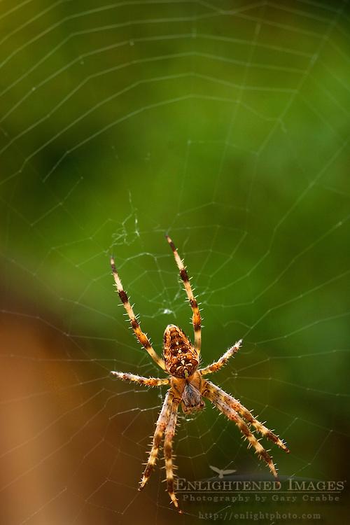 Cross Orbweaver Spider (Araneus diadematus) in web