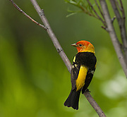 A Western Tanager waits for a meal near Teton Village