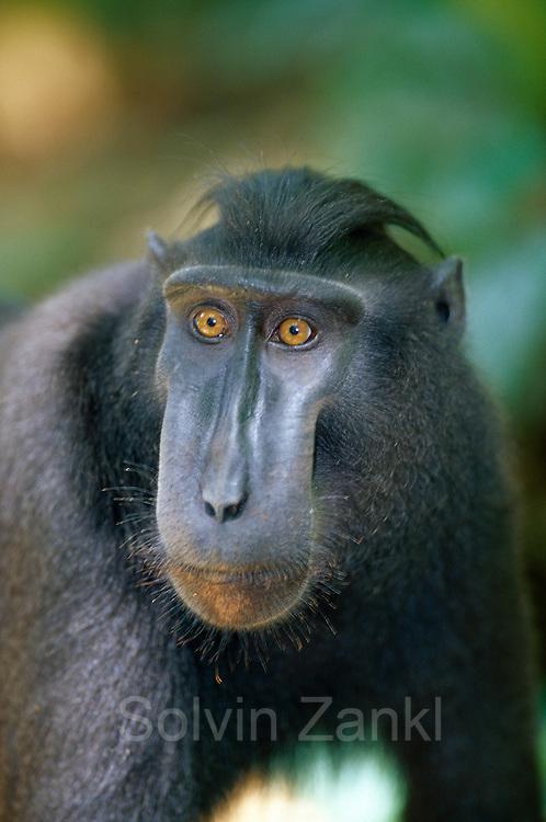 Der 15 Jahre alte Schopfmakake beobachtet zwei kämpfende Männchen.   This 15 year old Celebes Crested Macaque is watching 2 males fighting.