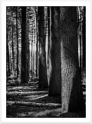 Sugar Pine Walk at Laurel Hill [Laurel Hill, NSW]<br /><br />To purchase please email orders@girtbyseaphotography.com quoting the image number 006093BW, and your preferred print size. You will receive a quick reply recommending print media options to best suit your chosen image, plus an obligation-free quotation. Current standard size prices are published on the Pricing page.