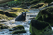 An adult American black bear sits in the middle of Anan Creek as it fishes for spawning salmon in the Tongass National Forest, Alaska. Anan Creek is one of the most prolific salmon runs in Alaska and dozens of black and brown bears gather yearly to feast on the spawning salmon.