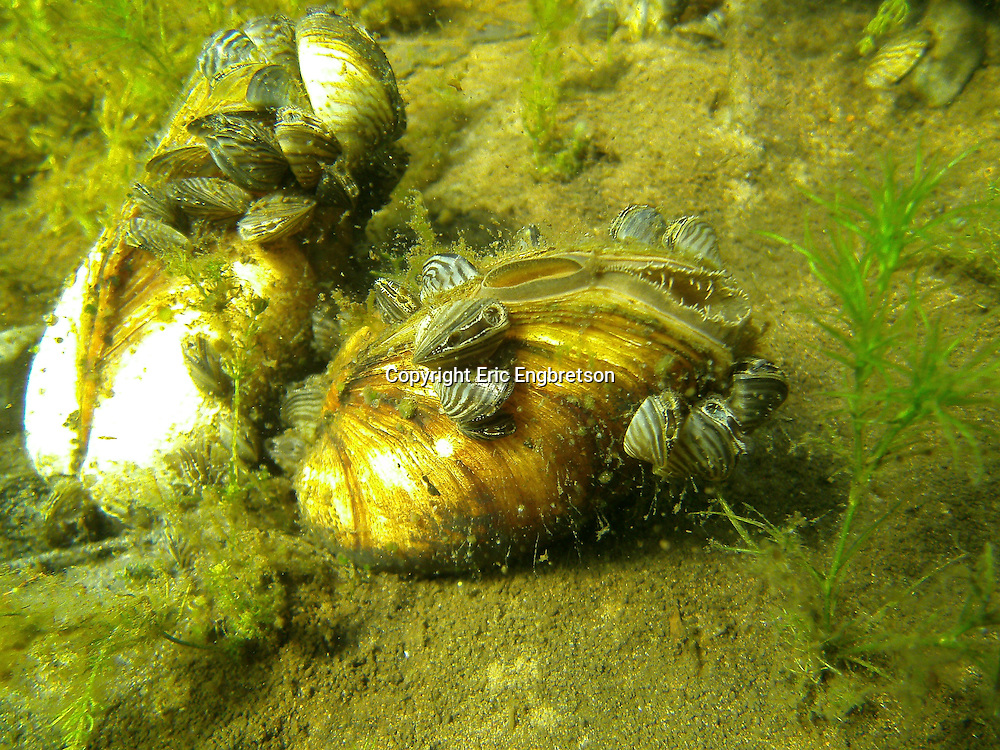 Zebra Mussels attached to the shell of a native mussel<br /> <br /> ENGBRETSON UNDERWATER PHOTO