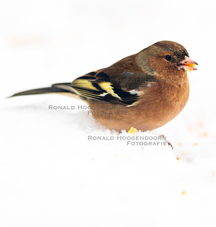 23-01-2019 NED: Birdwatch around your garden, Maarssen