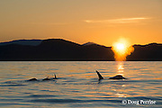 transient orcas or killer whales, Orcinus orca, spouting at sunset, Gulf Islands, Strait of George, east of Vancouver Island, British Columbia, Canada, and north of San Juan Islands, Washington, USA