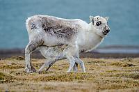 Svalbard reindeer at Dolerittneset or Rosenbergdalen on Edgeøya in Svalbard, Norway.