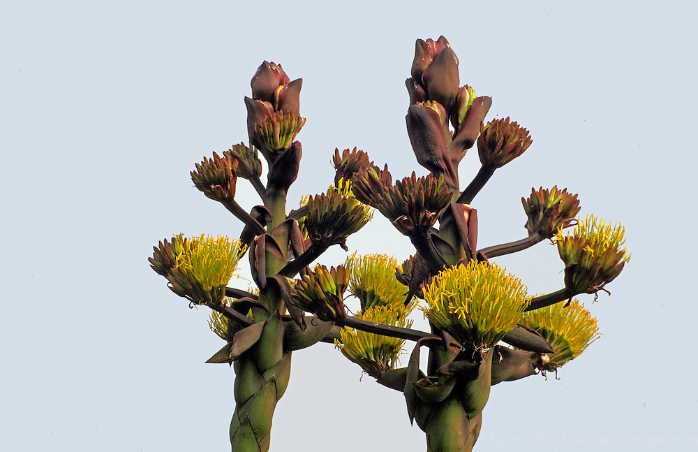 North America, Mexico, Baja California, Ensenada.  The Desert Agave plant blooms along the slopes of Baja California.