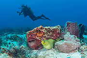 diver with camera swims past green moray eel, Gymnothorax funebris, Playa del Carmen, near Cancun, Quintana Roo, Yucatan Peninsula, Mexico ( Caribbean Sea )