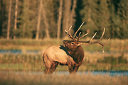Bull elk (Cervus canadensis) during the autumn rut