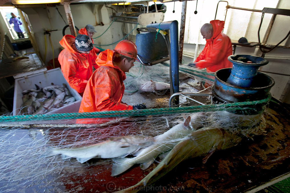 Icelandic cod fishermen haul in gill nets that have been set out and left overnight near the small port of Sandgerdi on the western side of the Reykjanes peninsula, Iceland. (From the book What I Eat: Around the World in 80 Diets.) Although their craft is small, their large nets are mechanized. They monitor the casting then drink coffee and eat bread and fruit in the boat's galley until it's time to  haul in the bounty. They clean the fish in the belly of the ship, toss the guts, and then, after repeating this cycle many times for 8 hours, head for port. The fishermen take a fish or two home each day, along with their pay.
