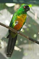 Masked Shining Parrot photo Kula Eco Park Fiji