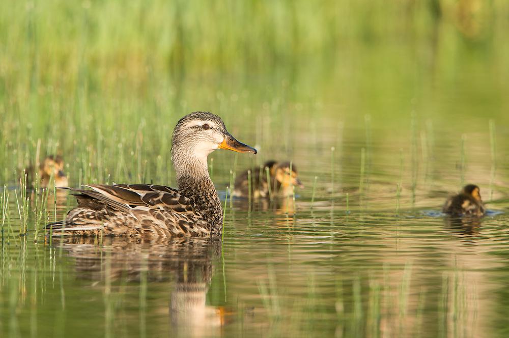 A mother mallard watches over her ducklings, Missoula, Montana
