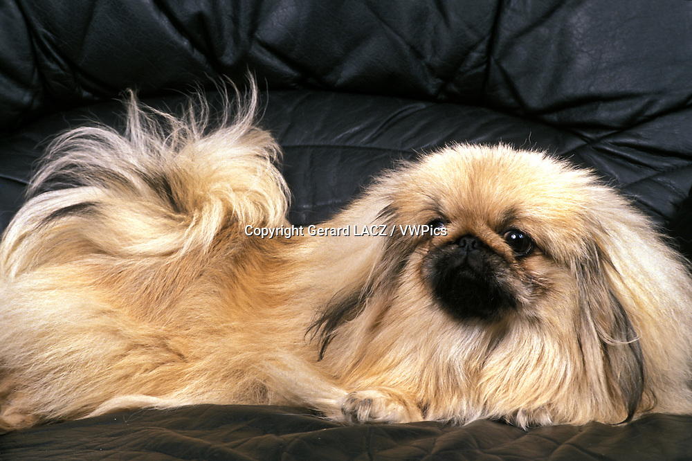 Pekinese Dog laying of Sofa