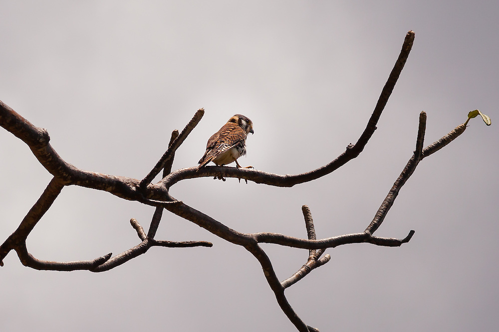 This American Kestrel (Falco sparverius) searches for a meal upon his perch within Virgin Islands National Park.