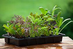 Salad leaves in seed tray. Left to right: Salad Rocket, Mustard 'Red Frills', Mustard 'Golden Streaks', Mizuna 'Red Knight' and Mibuna